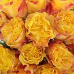 Tropical Dip Garden Roses up close