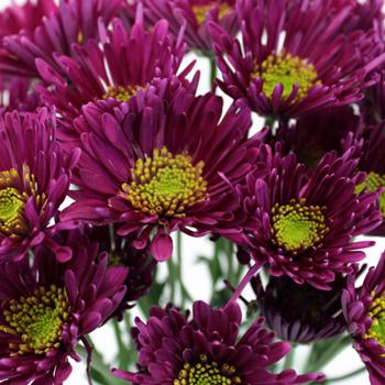 Purpleberry Starlight Pretty Flower