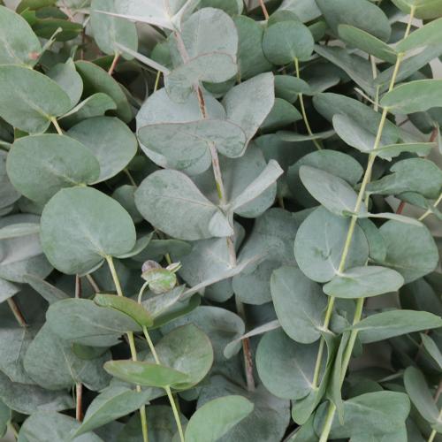 True Blue Eucalyptus Greens