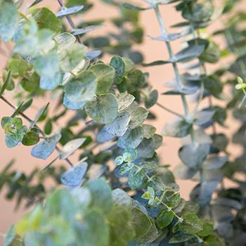 True Blue Eucalyptus Greenery Up Close