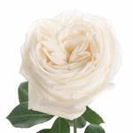 True White Garden Rose Stem