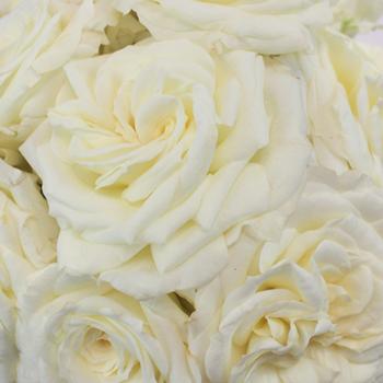 True White Garden Roses up close
