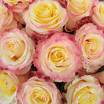 Twisted Pink Roses Up Close