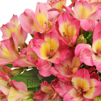 Twister Pink Yellow alstroemeria Wholesale Flower Upclose