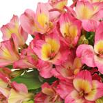 Twister Pink Yellow alstroemeria Wholesale Flower Upclose