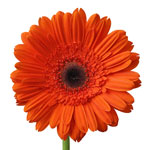 Gerbera Daisy Ultima Dark Orange Flower Up close