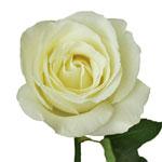 Vanilla Cream Garden Rose Stem