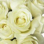 Vanilla Cream Garden Roses up close