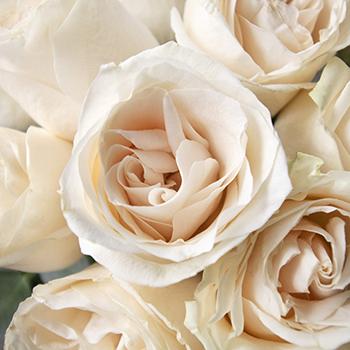 Vendela Ivory Roses Express Delivery