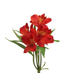 Victory Red alstroemeria Wholesale Flower Stem