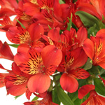 Victory Red Alstroemeria Wholesale Flower Up close