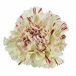 Vintage Candy Cane Carnation Flower FlatLay