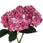 Vintage Pink Airbrushed Hydrangea Flower Stem View