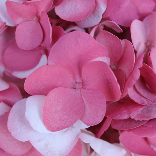 Vintage Pink Airbrushed Hydrangea Flowers Up Close