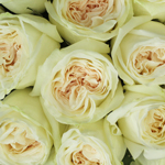 Vintage Promenade Garden Roses up close