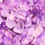 Violet Airbrushed Hydrangea Flowers Up Close