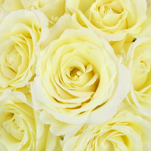 Vitality Ivory Garden Roses up close