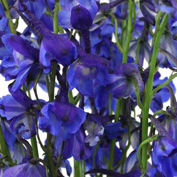 Volkenfrieden Dark Blue Delphinium Wholesale Flower Up close