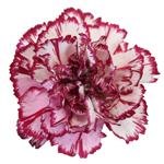 Bulk Purple Carnation Flowers