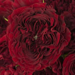 Walk of Fame Red Garden Roses up close
