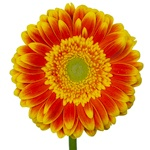 Gerbera Daisy Wannabe Orange and Yellow Wholesale Flower Up close