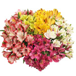 Warm Farm Mix alstroemeria Wholesale Flower bunch