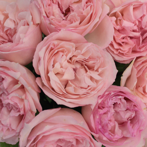 Hues of Pink Garden Rose Wholesale