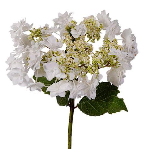Wedding White Hydrangea Stem View