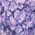 Whimsical Fairytale Enhanced Hydrangea Flower Up Close