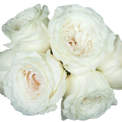 Whisper White Garden Roses up close