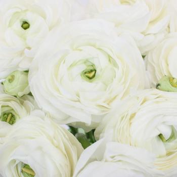 White Italian Cloony Ranunculus