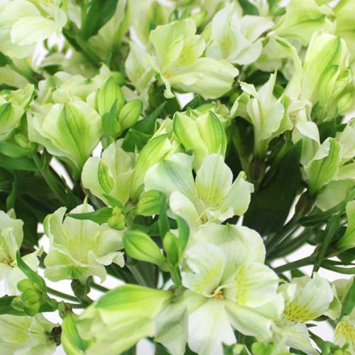 White Alstrecia alstroemeria Wholesale Flower Upclose