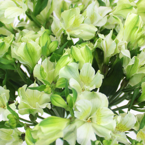 Wholesale White Alstrecia Flowers