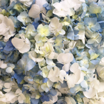 White and Blue Hydrangea Flower Petals