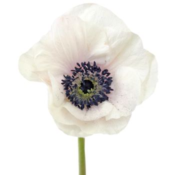 White and Blush Anemone Wholesale Flower Bloom