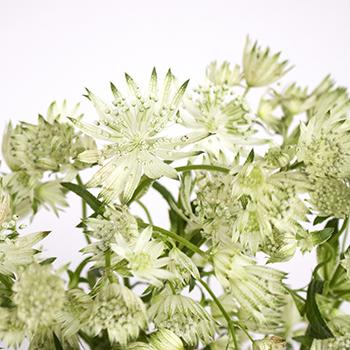 Ivory White Wedding Astrantia