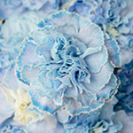 White Blue Tinted Elite Carnation Flowers Up Close