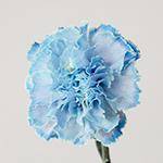 White Blue Tinted Elite Carnations side stem