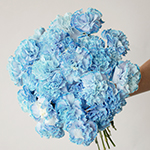 White Blue Tinted Elite Carnation Flower In a hand