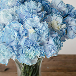 White Blue Tinted Elite Carnations in a vase Close Up