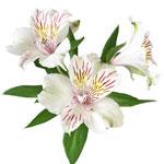 White Blush alstroemeria Wholesale Bloom Close up