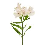 White Blush alstroemeria Wholesale Flower Stem