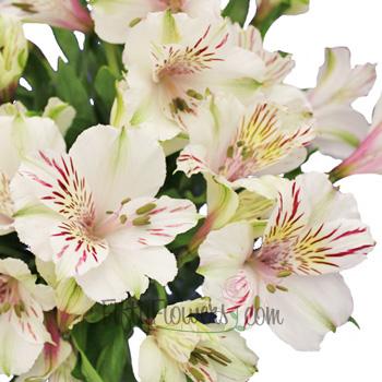 White Blush alstroemeria Wholesale Flower Upclose