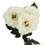 Creamy Cloud Garden Rose Stem