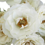 White Cloud Garden Roses up close
