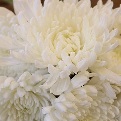 Paper White Chrysanthemum Cremon