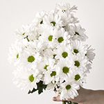 White daisy pom wholesale wedding flowers