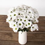 White daisy pom flowers for delivery