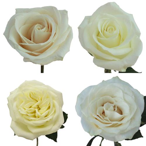 White Ecuadorian Roses Up Close