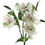 White Fresh alstroemeria Wholesale Flower Stem